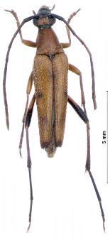 Stenurellaseptempunctata (Fabricius, 1792)