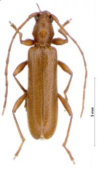 Axinopalpis gracilis (Krynicky, 1832)