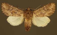 Luperina testacea (Denis & Schiffermüller, 1775)
