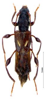Molorchus minor (Linnaeus, 1758)