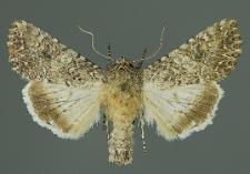 Anarta trifolii (Hufnagel, 1766)
