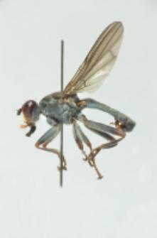 Hydromyza livens (Fabrycius, 1794)