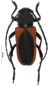 Purpuricenus kaehleri (Linnaeus, 1758)