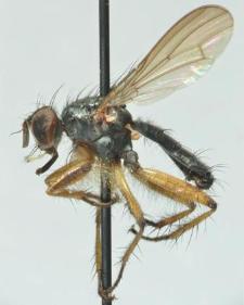 Cleigastra apicalis (Meigen, 1826)