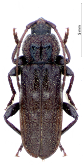 Hylotrupes bajulus (Linnaeus, 1758)