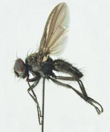 Melanomya nana (Meigen,1826)