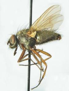 Phaonia angelicae (Scopoli, 1763)