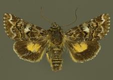 Anarta myrtilli (Linnaeus, 1761)
