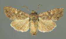 Lacanobia aliena (Hübner, 1809)