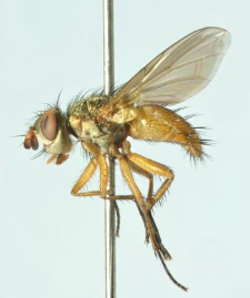 Hyalurgus lucidus (Meigen, 1824)