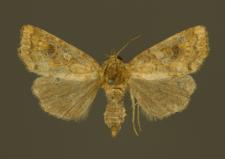 Atypha pulmonaris (Esper, 1790)