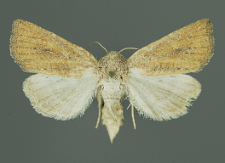 Photedes fluxa (Hübner, 1809)