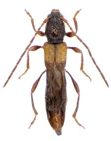 Molorchus kiesenwetteri M.E. Mulsant et C. Rey, 1861