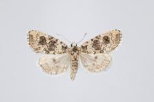 Bryophila demestica