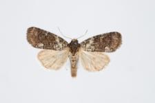 Bryophila ereptricula