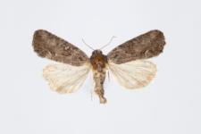 Bryophila raptricula