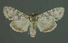 Polia nebulosa (Hufnagel, 1766)