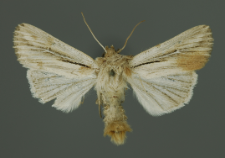 Leucania comma (Linnaeus, 1761)