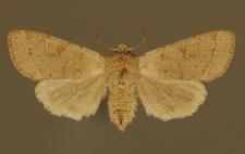 Orthosia populeti (Fabricius, 1775)