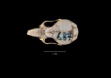 Apodemus sylvaticus
