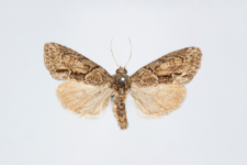 Cryphia fraudaricula