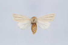 Simyra albovenosa