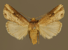 Axylia putris (Linnaeus, 1761)