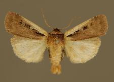 Ochropleura plecta (Linnaeus, 1761)