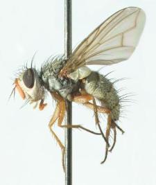 Hebia flavipes Robineau-Desvoidy, 1830