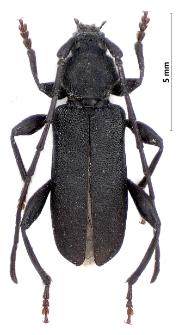 Ropalopus macropus (E.F. Germar, 1824)