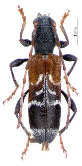 Anaglyptusmysticus(Linnaeus, 1758)