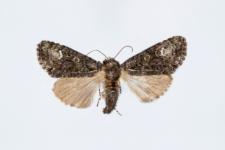 Craniophora ligustri