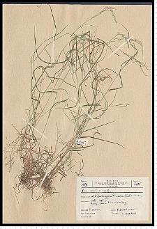 Poa palustris L.