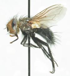 Gonia picea (Robineau-Desvoidy, 1830)