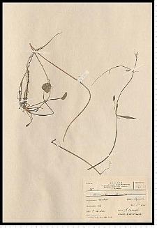 Ranunculus flammula L.
