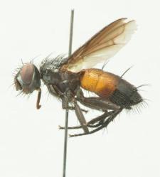 Stevenia fausti (Portshinsky, 1875)
