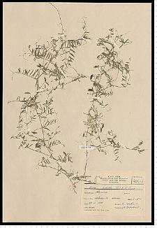 Vicia hirsuta (L.) S. F. Gray