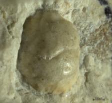 Tanidromites etalloni
