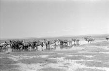 Naturalny wodopój koni i wielbłądów