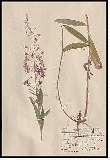 Chamaenerion angustifolium (L.) Scop.