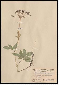 Aegopodium podagraria L.