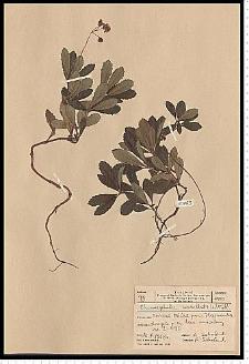 Chimaphila umbellata (L.) W. P. C. Barton
