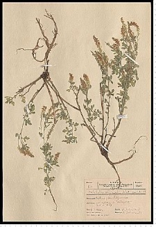 Melilotus officinalis (L.) Pall.