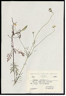Scabiosa ochroleuca L.
