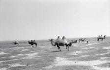 Wypas wielbłądów