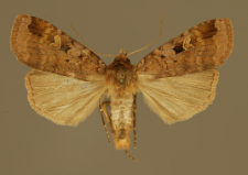 Xestia stigmatica (Hübner, 1813)