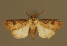 Agrotis clavis (Hufnagel, 1766)