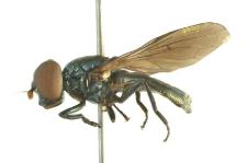 Chrysogaster solstitialis (Fallen, 1817)