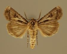 Agrotis vestigialis (Hufnagel, 1766)
