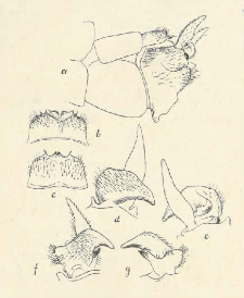 Tipulidae (Dipt.)